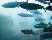 Fisk laks i Sunnfjord